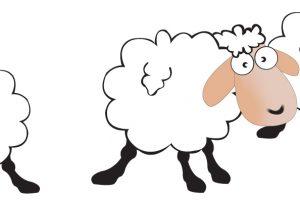 how many sheep